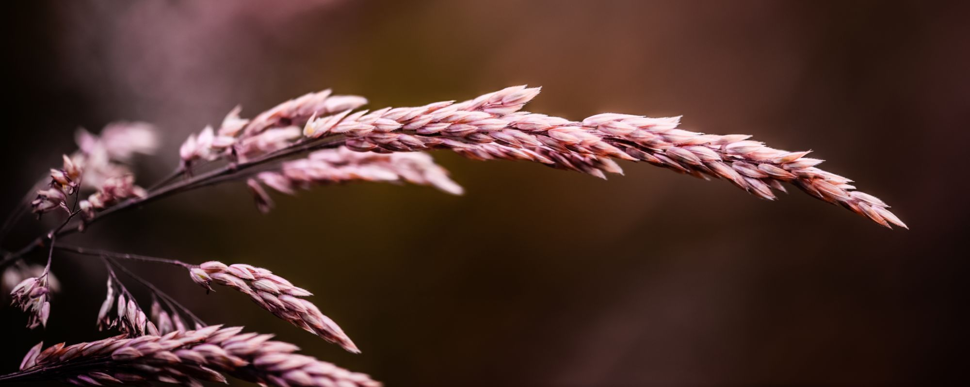 Purple Wheat
