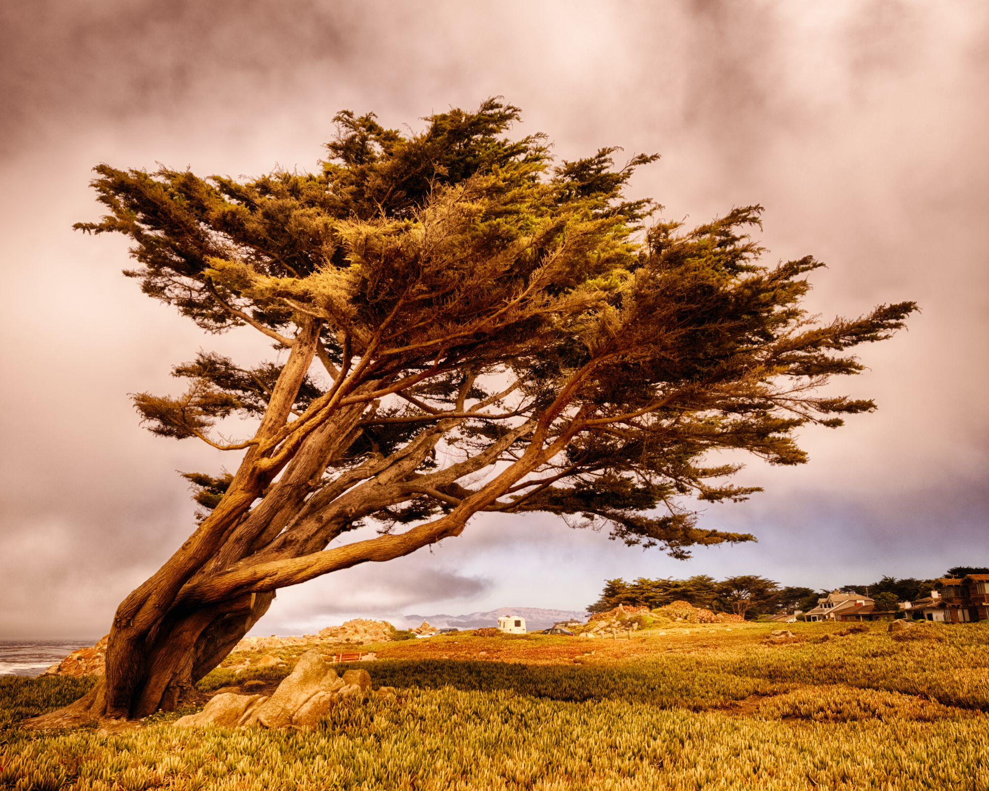 Tree of Pacific Grove