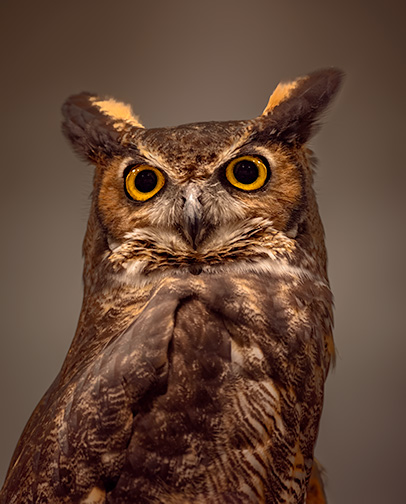 Portait of an Owl